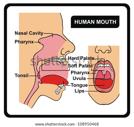 Vector - Human Mouth Anatomy - stock vector