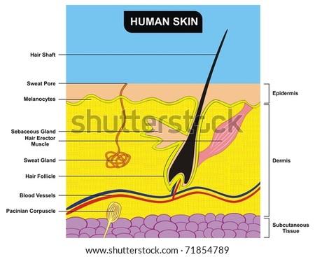 VECTOR - Human Skin Cross-Section - stock vector