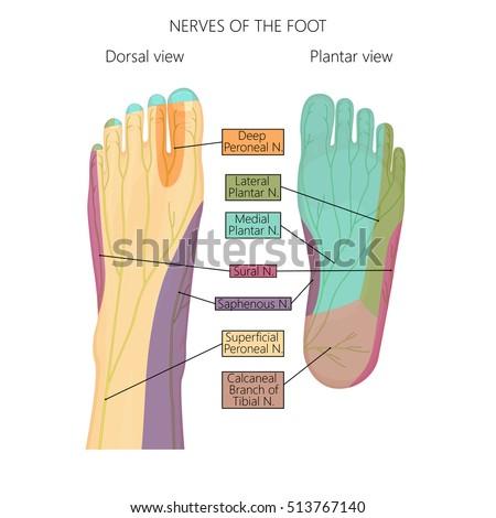 Nerve Foot Diagram Basic Guide Wiring Diagram