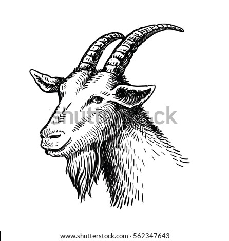 Vector Illustration Head Drawn Of Goat