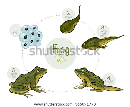 Vector illustration: Life cycle of a frog - stock vector