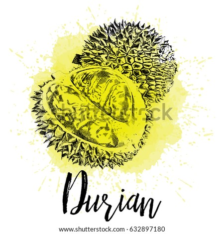 Vector illustration, Musang king Durian