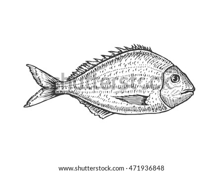 Vector illustration of a dorado. River fish. Hand drawn sketch.
