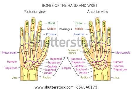 Vector Illustration Human Hand Denominations Palm Stock Vector ...
