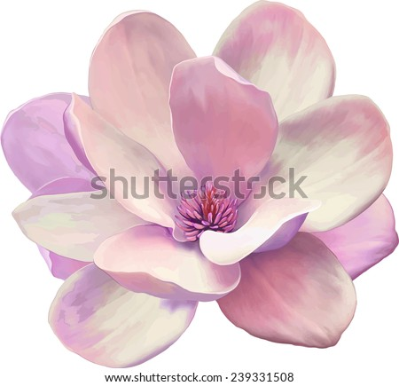 Vector Illustration of a tender pink magnolia flower isolated on white background - stock vector