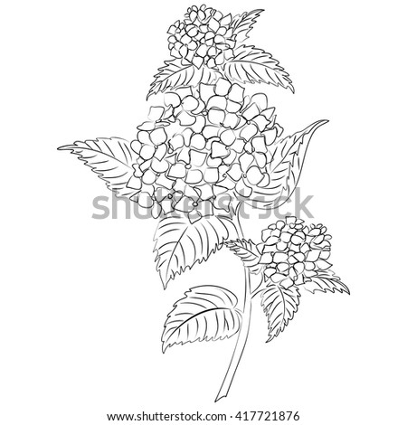 vector illustration of an ink sketch hydrangea flower