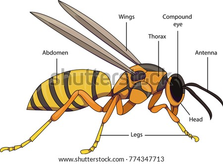 Vector illustration insect diagram labeled parts stock vector vector illustration of an insect diagram with labeled parts of a wasp ccuart Choice Image