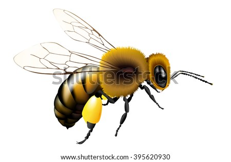 Vector illustration of bee with transparent wings for any background - isolated on white - stock vector