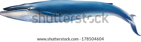 Vector illustration of Blue whale isolated on white background - stock vector