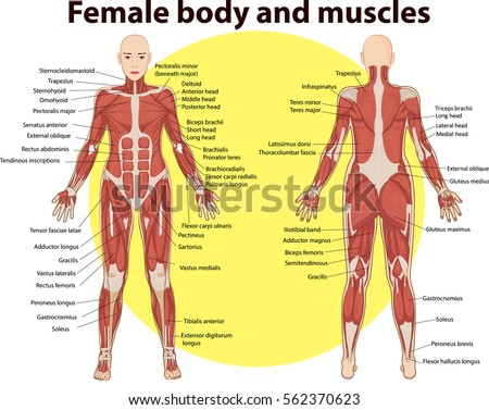vector illustration body muscles anatomy stock vector 562370623, Muscles