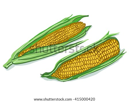 Vector illustration of corn with kernels, with white background