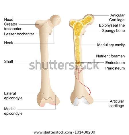 vector illustration of diagram of human bone anatomy - stock vector