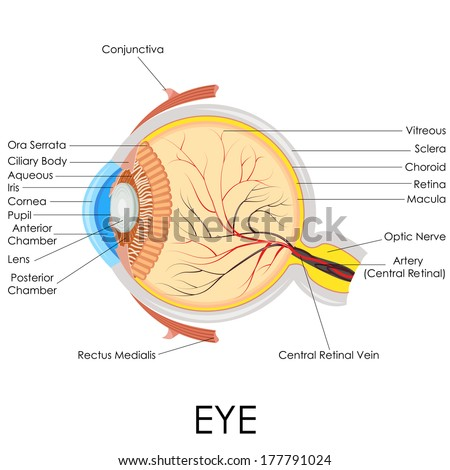 vector illustration of diagram of human eye anatomy - stock vector