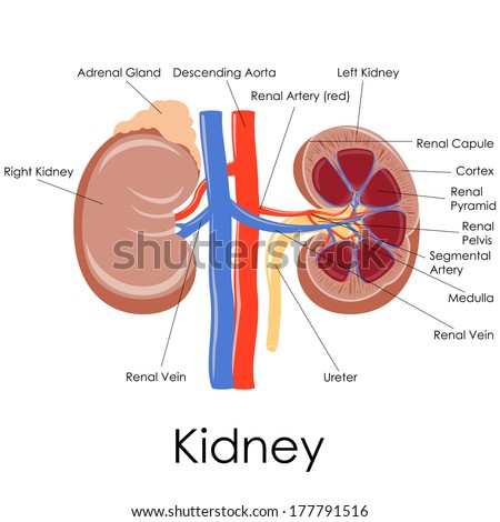 Vector illustration diagram human kidney anatomy stock vector vector illustration of diagram of human kidney anatomy ccuart Images