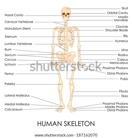 vector illustration of diagram of human skelton - stock vector