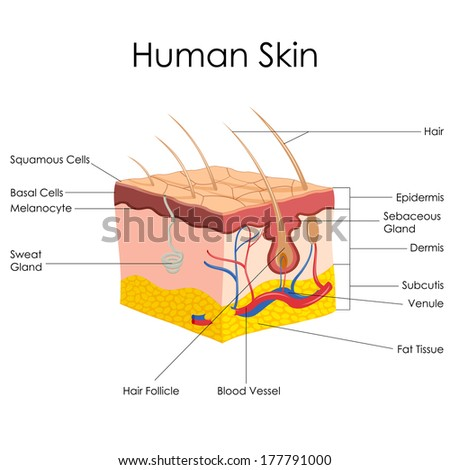 vector illustration of diagram of human skin anatomy