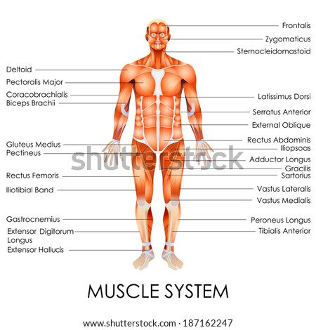 Male Muscles Diagram Tenderness