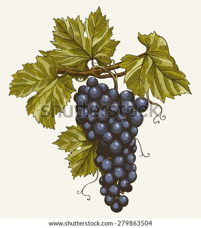 vector illustration of engraving grapes on the branch on grey background - stock vector