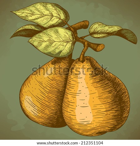 vector illustration of engraving pear and leaf on the branch in retro style  - stock vector