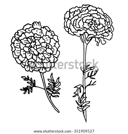 vector illustration of hand drawn marigold isolated on white background outline flower are element for