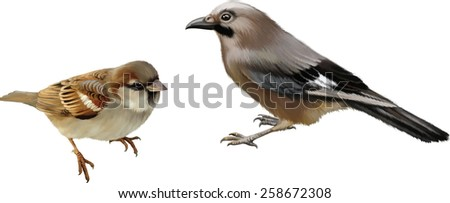 Vector illustration of House Sparrow. Wild bird with blue feathers on whings Isolated on white background