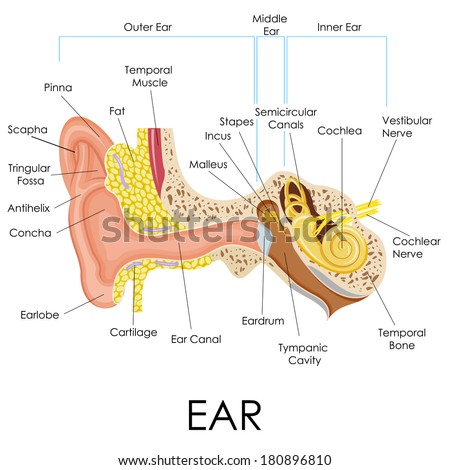 vector illustration of human ear anatomy - stock vector