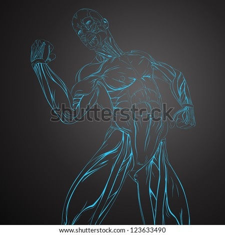 Vector Illustration of Human Muscle Anatomy