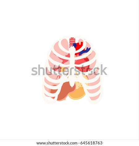 Vector Illustration Human Organs Rib Cage Stock Vector (Royalty Free ...