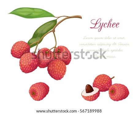Vector illustration of lychee fruit. Series exotic fruits. Isolated objects on a white background. It achieved in a realistic style.