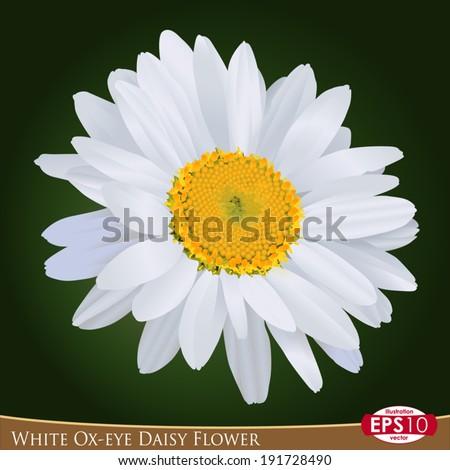 style drawing  Asteraceae -- Leucanthemum vulgare  - stock vectorLeucanthemum Vulgare Drawing