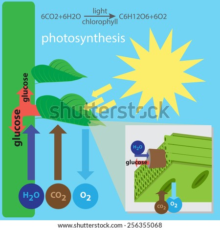 vector illustration of photosynthesis process - stock vector