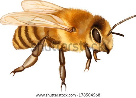 Vector illustration of Pretty bee isolated on the white - stock vector