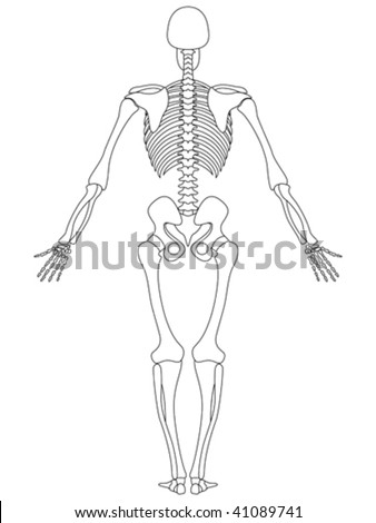 vector illustration of rear view of male skeleton