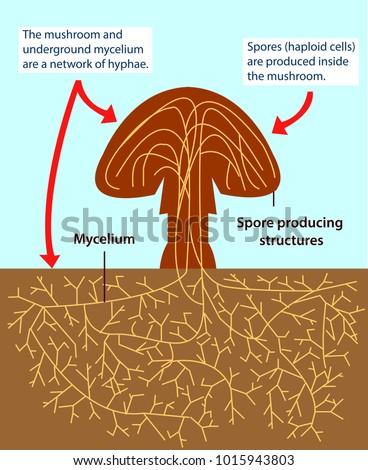 Vector Illustration Structure Multicellular Fungi Colourful Stock