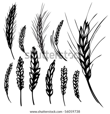 vector illustration of wheat and rye - stock vector