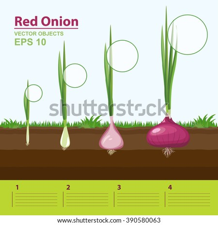 Vector illustration phases growth red onion stock vector 390580063 phases of growth of a red onion in the garden growth stage ccuart Images