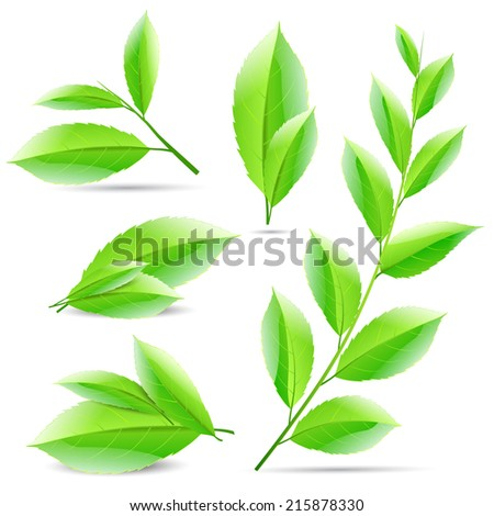 vector illustration set of a collage of green tea leaves tree - stock vector
