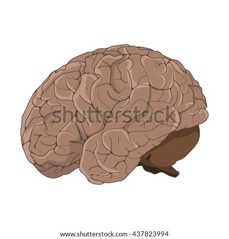 Vector illustration with human brain. Hand drawn human brain. Human anatomy. - stock vector