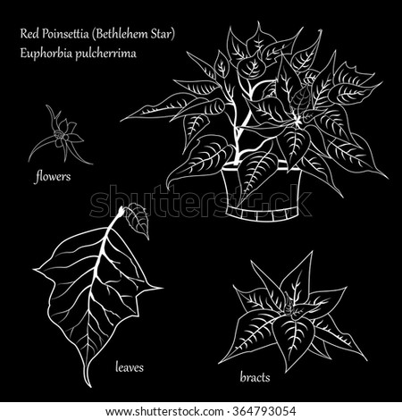 Vector image flower red poinsettia (Bethlehem Star). Separate colorless leaves, flowers, bracts whith white stroke. Parts are isolated on a black background. - stock vector