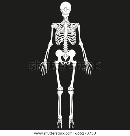 vector human skeleton all major bones stock vector 91489667, Skeleton