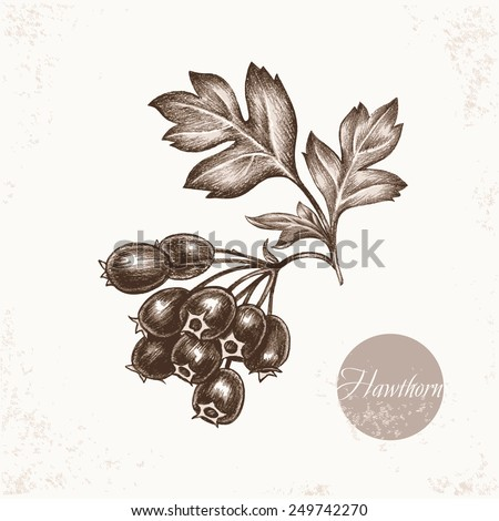 Vector images of medicinal plants. Biological additives are. Healthy lifestyle. Hawthorn. - stock vector