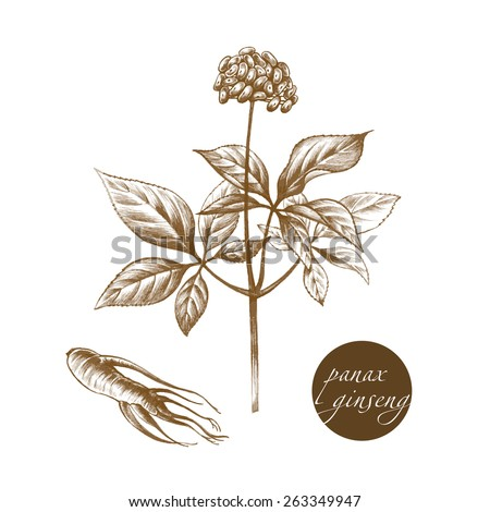 Vector images of medicinal plants. Biological additives are. Healthy lifestyle. Panax ginseng.