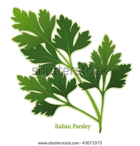 vector - Italian Flat Leaf Parsley. Flavorful, dark green leaves, best variety for cooking, French herb blends: Fines Herbs,  Bouquet Garni. EPS8 compatible. See other herbs, spices in this series. - stock vector