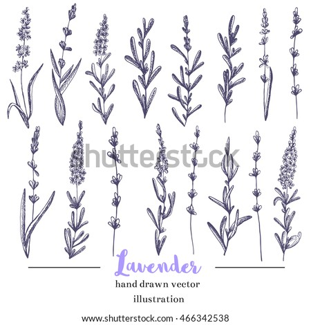 Vector lavender hand drawn illustration.Hand drawn lavender flowers.Healing and cosmetics herb.Medical plant. Great for traditional medicine design. Great design for natural and organic products.