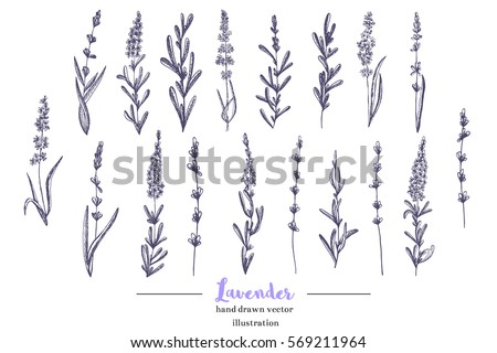 Vector lavender hand drawn illustration.Hand drawn lavender flowers.Healing and cosmetics herb.Medical plant. Great for traditional medicine design. Great design for natural and organic products