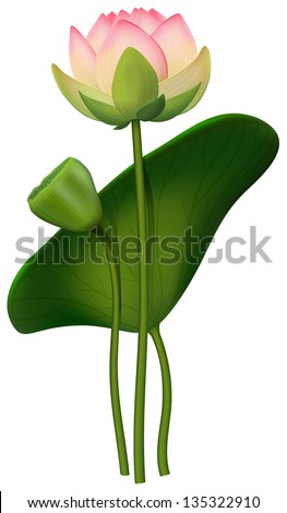 Vector lotus flowers isolated on white background