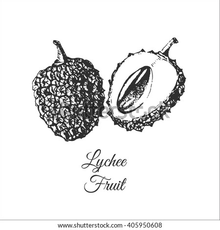 vector lychee fruit hand drawn illustration. lychee sketch drawing. exotic tropical fruit