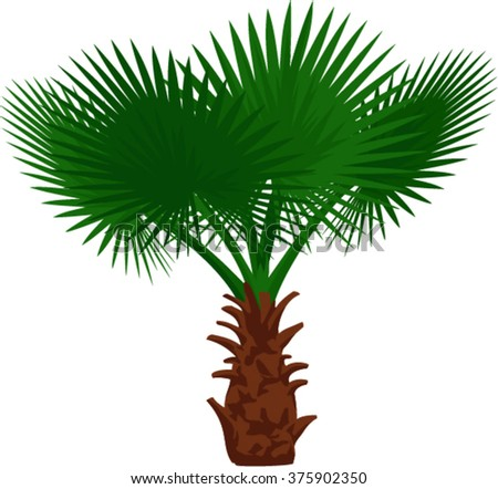 vector Mexican fan palm tree