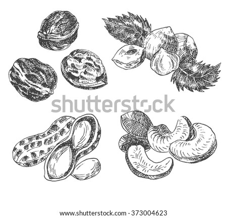 vector nuts sketch drawing collection. hand drawn walnut, hazelnut, peanut, cashew