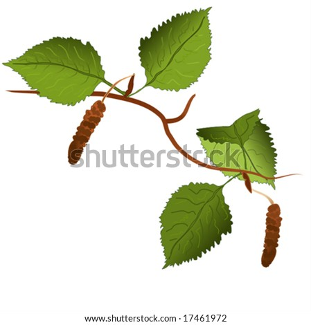 Vector of a birch tree branch, easy to edit. For the jpg-version, see my portfolio please (click on my name).